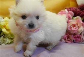 ポメラニアンの子犬(ID:1246711833)の1枚目の写真/更新日:2017-12-11