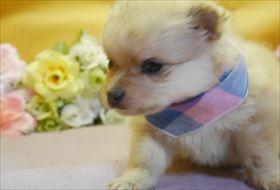 ポメラニアンの子犬(ID:1246711834)の1枚目の写真/更新日:2017-12-11