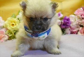 ポメラニアンの子犬(ID:1246711835)の1枚目の写真/更新日:2017-12-11
