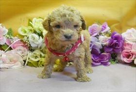 トイプードルの子犬(ID:1246711836)の1枚目の写真/更新日:2017-12-21