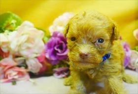 トイプードルの子犬(ID:1246711837)の1枚目の写真/更新日:2019-08-27