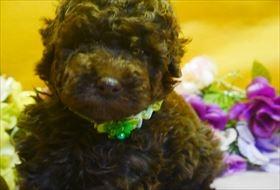 トイプードルの子犬(ID:1246711838)の1枚目の写真/更新日:2017-12-21
