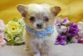 チワワ(ロング)の子犬(ID:1246711839)の1枚目の写真/更新日:2017-12-21