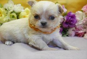 チワワ(ロング)の子犬(ID:1246711840)の1枚目の写真/更新日:2017-12-29
