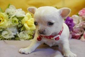 チワワ(ロング)の子犬(ID:1246711841)の1枚目の写真/更新日:2017-12-29