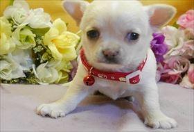 チワワ(ロング)の子犬(ID:1246711841)の2枚目の写真/更新日:2017-12-29