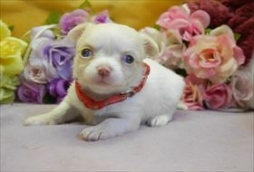 チワワ(ロング)の子犬(ID:1246711842)の1枚目の写真/更新日:2017-12-29