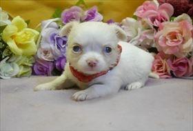チワワ(ロング)の子犬(ID:1246711842)の2枚目の写真/更新日:2017-12-29