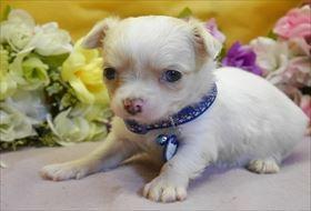 チワワ(ロング)の子犬(ID:1246711843)の1枚目の写真/更新日:2017-12-29
