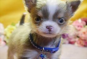 チワワ(ロング)の子犬(ID:1246711844)の1枚目の写真/更新日:2018-01-04