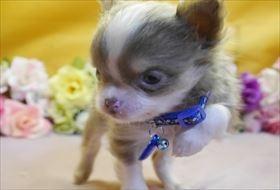 チワワ(ロング)の子犬(ID:1246711844)の2枚目の写真/更新日:2018-01-04
