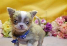 チワワ(ロング)の子犬(ID:1246711844)の3枚目の写真/更新日:2018-01-04