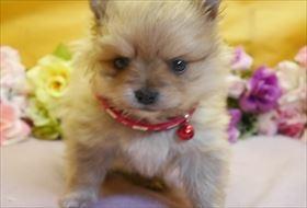 ポメラニアンの子犬(ID:1246711845)の1枚目の写真/更新日:2018-01-04