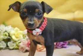 ミニチュアピンシャーの子犬(ID:1246711846)の1枚目の写真/更新日:2018-01-04