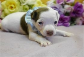 ミニチュアピンシャーの子犬(ID:1246711847)の2枚目の写真/更新日:2018-01-04