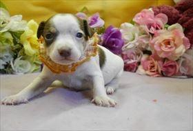 ミニチュアピンシャーの子犬(ID:1246711848)の2枚目の写真/更新日:2018-01-04