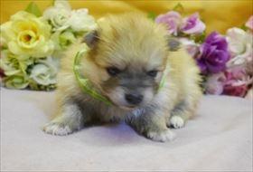 ポメラニアンの子犬(ID:1246711849)の1枚目の写真/更新日:2018-01-04