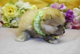 ポメラニアンの子犬(ID:1246711849)の2枚目の写真/更新日:2018-01-04