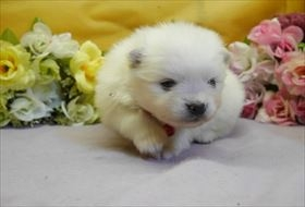 ポメラニアンの子犬(ID:1246711850)の1枚目の写真/更新日:2018-01-04