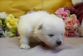 ポメラニアンの子犬(ID:1246711850)の2枚目の写真/更新日:2018-01-04