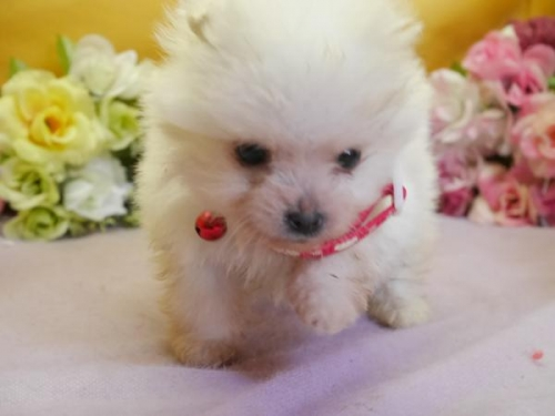 ポメラニアンの子犬(ID:1246711851)の1枚目の写真/更新日:2018-01-24