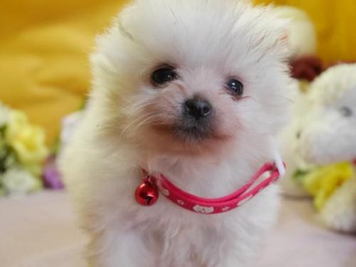 ポメラニアンの子犬(ID:1246711851)の2枚目の写真/更新日:2018-01-24