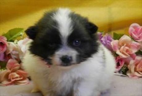 ポメラニアンの子犬(ID:1246711852)の1枚目の写真/更新日:2018-01-24