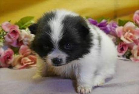 ポメラニアンの子犬(ID:1246711852)の2枚目の写真/更新日:2018-01-24