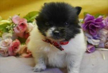ポメラニアンの子犬(ID:1246711853)の1枚目の写真/更新日:2020-01-22