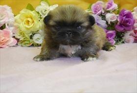 ペキニーズの子犬(ID:1246711854)の2枚目の写真/更新日:2018-01-24