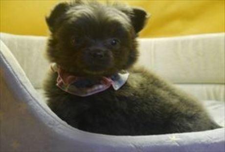 ポメラニアンの子犬(ID:1246711855)の1枚目の写真/更新日:2018-02-05