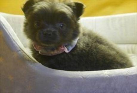 ポメラニアンの子犬(ID:1246711855)の2枚目の写真/更新日:2020-01-22