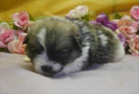 ポメラニアンの子犬(ID:1246711856)の1枚目の写真/更新日:2018-02-05
