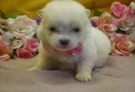 ポメラニアンの子犬(ID:1246711857)の1枚目の写真/更新日:2018-02-05