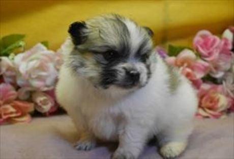 ポメラニアンの子犬(ID:1246711858)の1枚目の写真/更新日:2018-02-05