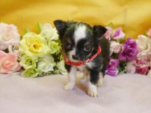 チワワ(ロング)の子犬(ID:1246711859)の1枚目の写真/更新日:2018-02-05