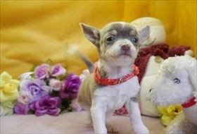 チワワ(スムース)の子犬(ID:1246711860)の1枚目の写真/更新日:2018-02-15