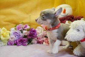 チワワ(スムース)の子犬(ID:1246711860)の2枚目の写真/更新日:2018-02-15