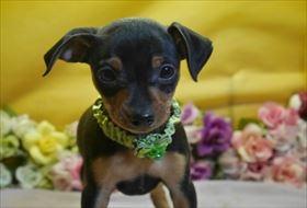 ミニチュアピンシャーの子犬(ID:1246711861)の1枚目の写真/更新日:2018-02-19