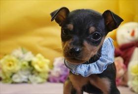ミニチュアピンシャーの子犬(ID:1246711862)の1枚目の写真/更新日:2018-02-19