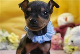 ミニチュアピンシャーの子犬(ID:1246711862)の2枚目の写真/更新日:2018-02-19