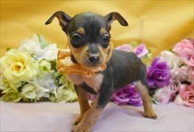 ミニチュアピンシャーの子犬(ID:1246711863)の1枚目の写真/更新日:2018-02-19