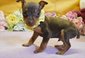 ミニチュアピンシャーの子犬(ID:1246711864)の1枚目の写真/更新日:2018-02-19