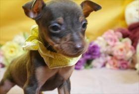 ミニチュアピンシャーの子犬(ID:1246711864)の2枚目の写真/更新日:2018-02-19