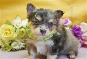 チワワ(ロング)の子犬(ID:1246711866)の1枚目の写真/更新日:2018-02-19