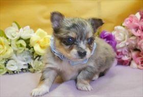 チワワ(ロング)の子犬(ID:1246711868)の1枚目の写真/更新日:2018-02-19