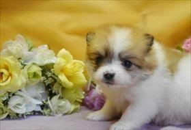 ポメラニアンの子犬(ID:1246711869)の1枚目の写真/更新日:2018-02-22