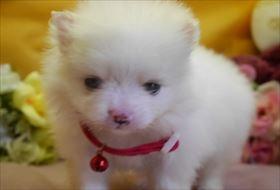 ポメラニアンの子犬(ID:1246711870)の1枚目の写真/更新日:2018-02-22