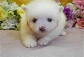 ポメラニアンの子犬(ID:1246711871)の1枚目の写真/更新日:2018-02-22