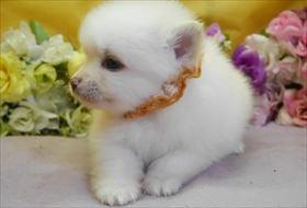 ポメラニアンの子犬(ID:1246711871)の2枚目の写真/更新日:2018-02-22